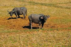 Free Buffalos In Thailand Stock Photo - 14511370