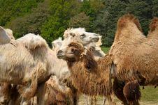 Free Camels Stock Photos - 14511633