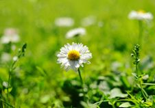 Free Daisy Field Royalty Free Stock Image - 14511756