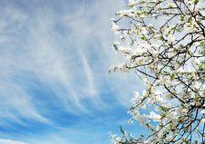 Free Beautiful Spring Tree Flowers Royalty Free Stock Image - 14511766