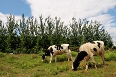 Free Cattle Grazing Royalty Free Stock Photography - 14513287
