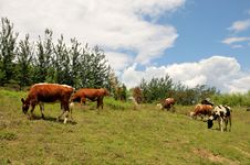 Free Cattle Grazing Stock Image - 14513311
