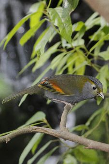 Free Grey-faced Liocichla Stock Photography - 14514092