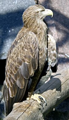 Free White-tailed Eagle 4 Stock Photo - 14515010