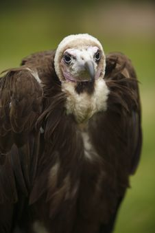 Hooded Vulture Portrait And Close-up Shot Royalty Free Stock Images