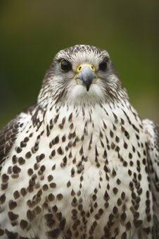 Free Portrait Of A Peregrine Falcon Stock Photography - 14515402