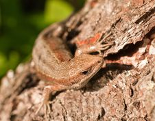 Free Lizard Stock Image - 14515571