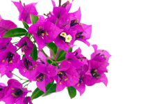 Free Bougainvillea Flowers Royalty Free Stock Images - 14515619