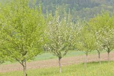 Free Blossoming Apple Trees Royalty Free Stock Photos - 14516168