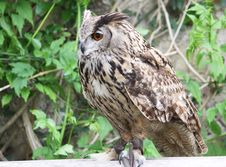 Free Eagle Owl Portrait Stock Photos - 14517113