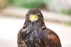 Free Falcon Portrait Stock Images - 14517274