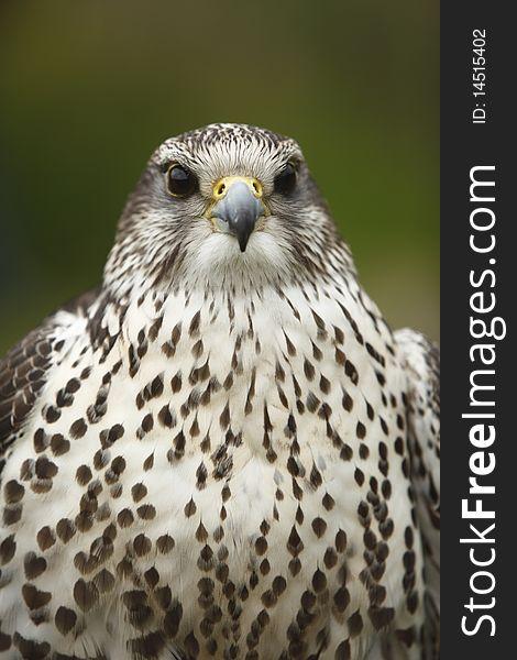 Portrait of a Peregrine falcon