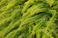 Free Fern Leaves Royalty Free Stock Photo - 14520375