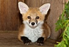Free Young Fox Stock Photography - 14520052