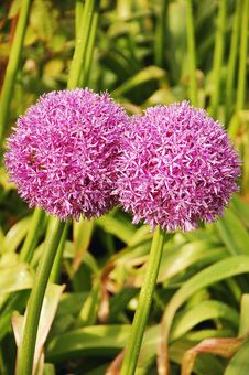 Persian Onion Flower Royalty Free Stock Image