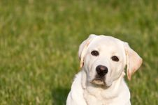 A Puppy Labrador Retriever Royalty Free Stock Photos