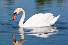 Free A Beautiful Mute Swan In A Pond Stock Photo - 14520560