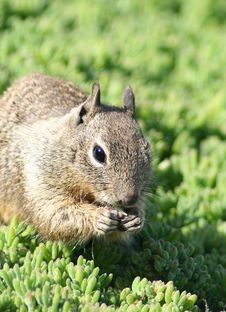 Free Cute Squirrel Stock Images - 14520774