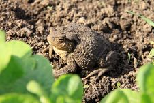 Free The Brown Toad Royalty Free Stock Photos - 14520928