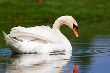 Free A Beautiful Mute Swan In A Pond Royalty Free Stock Photo - 14520975