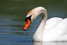 Free A Beautiful Mute Swan In A Pond Royalty Free Stock Photos - 14520988