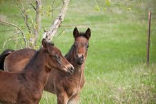 Two Quarter Horse Foals Playing Stock Photography