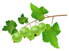 Free Green Gooseberry Stock Photography - 14521482
