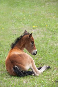 Free Quarter Horse Foal Laying Down Stock Images - 14521484