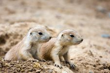 Free Prairie Dogs Royalty Free Stock Photography - 14521667