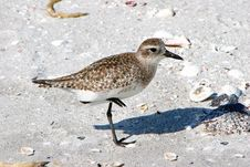 Free Plover Shorebird Royalty Free Stock Photos - 14521998