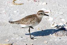 Free Plover Shorebird Royalty Free Stock Photos - 14521998