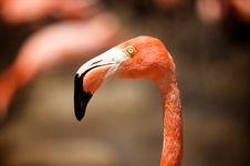 Free Flamingo S Head Stock Image - 14522001