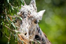Free Giraffe Portrait Stock Photos - 14523313