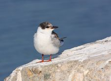 Free Whiskered Tern Juvenile Royalty Free Stock Photos - 14523548