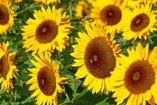 Free A Field Of Sunflowers Royalty Free Stock Photos - 14524128