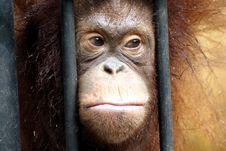 Free Sadly Orang Utan Stock Photo - 14524290
