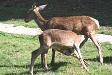 Free Two Deer Grazing. Royalty Free Stock Photos - 14524528