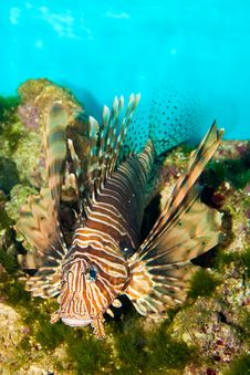 Red Volitan Lionfish Royalty Free Stock Photos