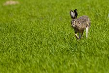 Hare Running On Green Field Royalty Free Stock Images