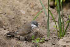 Lesser Whitethroat On The Ground Stock Photos