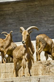 Spanish Ibex, Group Stock Photography