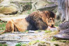 Free Lion Berber Royalty Free Stock Image - 14526646