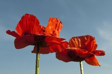 Free Poppies Stock Photo - 14527300