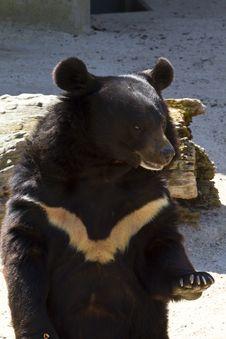 Free Black Bear Stock Images - 14527324