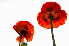Free Poppies Royalty Free Stock Photo - 14527345