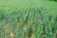 Free Wheat Royalty Free Stock Photos - 14527998