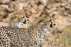 Free Cheetah Lookout Royalty Free Stock Image - 14528386