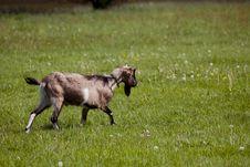 Free Goat Royalty Free Stock Photo - 14528505