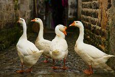 Free Geese Royalty Free Stock Photos - 14528708