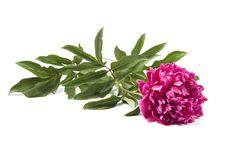Free Pink Peony Stock Image - 14528981